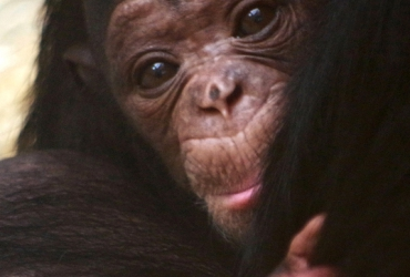 A CHIMPANZEE GIRL WAS BORN IN THE ZOO