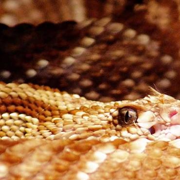 Borzasztó csörgőkígyó