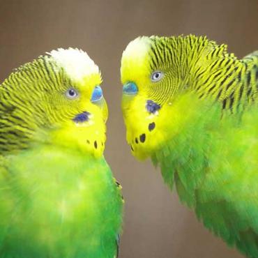 Hullámos papagáj