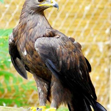 Mongolian Tawny Eagle